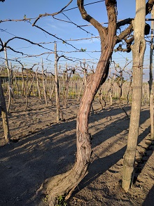 200 Year Old Vines